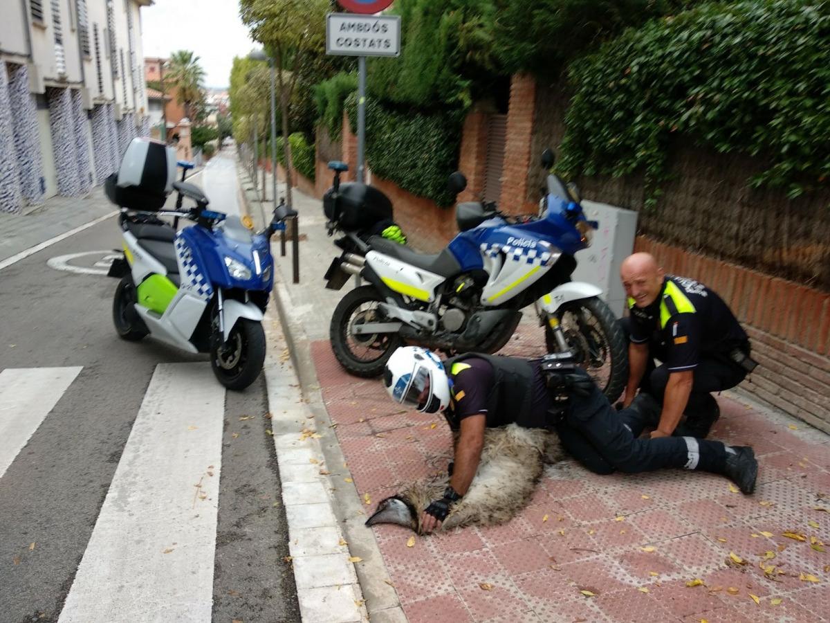 La policia de Sant Cugat i l'estruç