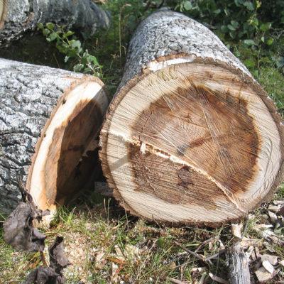 Una imatge d'arxiu d'un arbre talat